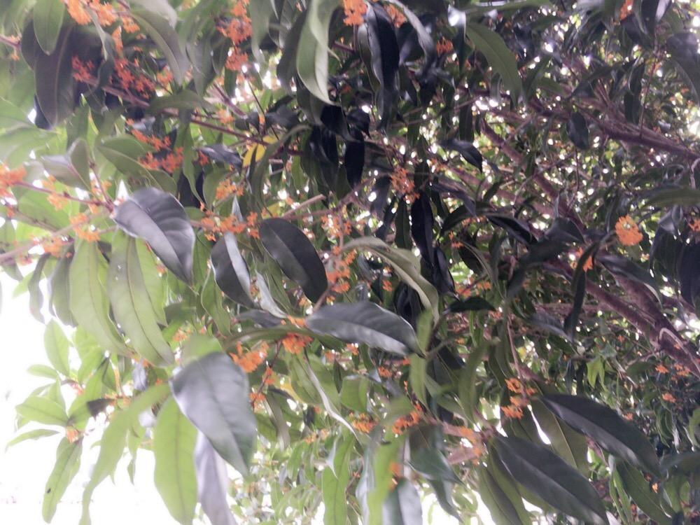 自宅の庭で甘い香りを放つキンモクセイ